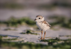 There are Children in the Seaweed (Kathy Macpherson Baca) Tags: animal birds aves piping plover shore beach summer world wildlife endangered chick eggs planet seaweed suzanne nest parents ocean fly downy nature migrate