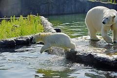 Eisbär (Michael Döring) Tags: gelsenkirchen bismarck zoomerlebniswelt zoo eisbär polarbear afs70200 d800 michaeldöring