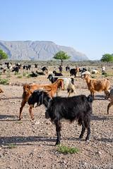 20180330-_DSC0159.jpg (drs.sarajevo) Tags: sarvestan ruraliran iran nomads farsprovince chamsatribe