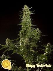 sleepy-yoda-auto-01 (Watcher1999) Tags: buds thc strains seeds cannabis medical marijuana growing weed smoking ganja legalize it