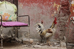 chair & chickens (Jackal1) Tags: chair chicken rural decay pink canon cuba