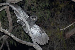 Greater Sooty Owl - Tyto tenebricosa