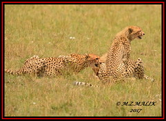 FEMALE CHEETAH WITH HER CUBS (Acinonyx jubatus).....MASAI MARA....SEPT 2017. (M Z Malik) Tags: nikon d800e 400mmf28gedvr kenya africa safari wildlife masaimara keekoroklodge exoticafricanwildlife exoticafricancats flickrbigcats cheetah cheetahcubs acinonyxjubatus ngc npc