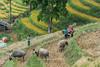 _Y2U4120.0914.Sử Pán.Sapa.Lào Cai (hoanglongphoto) Tags: asia asian vietnam northvietnam northwestvietnam landscape scenery vietnamlandscape vietnamscenery sapalandscape harvest harvestinsapa buffalo hillside canon canoneos1dx canonef70200mmf28lisiiusm riceterraced tâybắc làocai sapa sửpán phongcảnh phongcảnhsapa lúachín mùagặt sapamùagặt sapamùalúachín ngôinhà sườnđồi đàntrâu trâu buffalos life dailylife cuộcsống đờithường phongcảnhcóngười landscapewithpeople