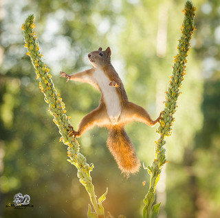 Red squirrel is in an split between mullein flowers