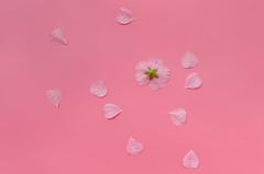 Pink (Kajsa Eriksson Color projekt) Tags: kajsa eriksson flatlay flat lay overhead photography plain color project pink flower flowerpetal