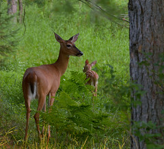 White-tailed Doe and her Fawn...... Explored (l_dewitt) Tags: whitetaileddeer deer whitetaildeer whitetailedfawn whitetailedfawnimages northamericanwildlife northernwisconsin northwoods upnorth wisconsinupnorth nikon nature natureimages naturephotos nationalwildlifemagazinephotogrouppool native d7100 nikond7100photos nikond7100 earthnaturelife nikonwildlifephotos nikonimages nikonphotos wildlifephotos wildlifeimages wildlife sayner saynerwisconsin