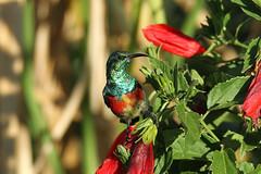 Sunbird sp. Isunga, Uganda (Nick Dean1) Tags: sunbird animalia chordata aves uganda isunga kibale