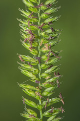 Gone To Seed (Mark Wasteney) Tags: grass green plant seeds linesymmetry closeup
