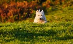 P1700091 (Denis-07) Tags: westie white terrier dog animal west highland