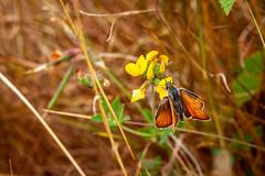 Mockbeggar ID Walk - Small Skipper - John French (John French 108) Tags: lepidoptera wildlife nature skipper insect yellow
