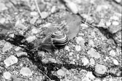 Garden Snail #1 (pmvarsa) Tags: summer 2018 june analog bw blackandwhite film 135 ilford ilfordfp4plus fp4 fp4plus 125iso nikonsupercoolscan9000ed nikon coolscan manfrotto sekonic cans2s pentax spotmatic pentaxspotmatic classic camera takumar 50mm extensiontubes macro knowledge teaching education passonknowledge knowledgetransfer outdoor neighbourhood snail eyespots shell path waterloo ontario canada