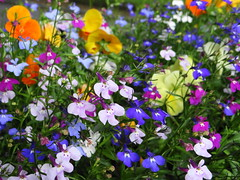 Colours of Summer (Ian Robin Jackson) Tags: summer flora flowers aberdeen cityflowers flowerdisplays sony scotland seasonal colours colors july blue red white display summertime aberdeenshire britain