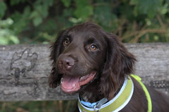 Charlie (micky_shaw) Tags: dog puppy sprocker photography photo canon handsome spaniel young fun friend adorable