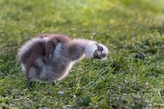 Shake it off DSC_4138 (BlueberryAsh) Tags: capebarrengoose chick gosling babybird bird capewoolamai phillipisland cereopsisnovaehollandiae australianbird tamron150600 nikond500