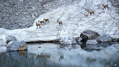 Alpine Wildlife - Summer Season (VandenBerge Photography) Tags: capraibex lake snow mountain animal wildlife water rocks nature nationalgeographic lonelyplanet wildstrubel switzerland alps europe valais lämmerenbach canon eos 80d leukerbad landscape snowscape steinbock reflection