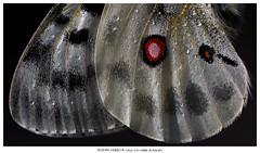 My favorite (Stefan Gerrits aka vanbikkel) Tags: finland parainen canon5dmarkiii canonef100mmf28lmacroisusm nature wildlife vanbikkel apollo mountainapollo isoapollo parnassiusapollo apollovlinder vlinder butterfly perhonen summer zomer kesä