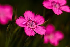 Pink (Karen_Chappell) Tags: pink flower floral nature macro green bokeh flowers garden botanicalgardens newfoundland nfld stjohns canada summer petals canonef100mmf28usmmacro avalonpeninsula atlanticcanada