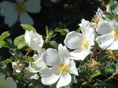 Wild White Roses, Allanfearn, near Inverness, June 2018 (allanmaciver) Tags: wild white rose inverness highlands scotland details delicate shine sun afternoon allanmaciver