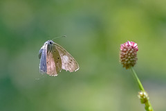 First of this colour in flight (Paul Wrights Reserved) Tags: butterfly butterflies butterflyinflight insect inflight insects insectinflight flying flyinginsect flyinginsects flower flowers bokeh wings beautiful beauty ragged macro macrophotography slovakia slovensko motýľ