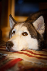 - The look - (FlexFrequency) Tags: 2018 akimo deutschland haustier hund nordrheinwestfalen privatfoto siberianhusky sonyalpha7iiilce7m2 tier