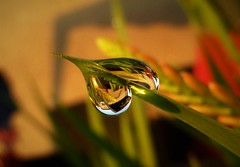 Early Morning Moisture..x (Lisa@Lethen) Tags: water droplets crocosmia macro sunrise early morning dew nature