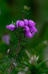 Brezo (dnieper) Tags: florsilvestre brezo montesollube urdaibai
