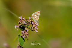 Brown Argus (http://www.richardfoxphotography.com) Tags: ariciaagestis brown argus butterfly butterflies insect insects macro macrophotography devon nature animals outdoors