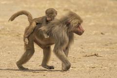 Mantelbaviaan - Safaripark Beekse Bergen - Hilvarenbeek (Jan de Neijs Photography) Tags: dierentuin zoo tamron tamron150600 150600 dierenpark nl holland thenetherlands dieniederlande diergaarde g2 animal dier beeksebergen safaripark safariparkbeeksebergen hilvarenbeek aap ape noordbrabant sbb