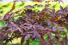 Japanese Maple (Desmojosh) Tags: japanese maple canon eos m 50mm f18 green purple nj new jersey