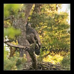 all grown up (wildlifephotonj) Tags: wildlifephotographynj naturephotographynj baldeagle baldeagles eagle eagles raptor raptors wildlifephotography wildlife nature naturephotography wildlifephotos naturephotos natureprints birds bird birdphotography