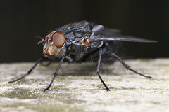 Don't call me ugly! (Jacko 999) Tags: fly diptera canon 5dsr mpe65mm 15x macro lens mt24ex twin lite flash custom built diffusers iso 200 f110 180 sec iso200 65mm robert eede new romney