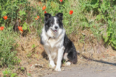 Tara (badger2028) Tags: border collie working sheepdog