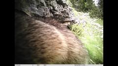 La journée bien remplie d'une marmotte (Samuel Raison) Tags: marmotte marmottes animal wildlife animals animauxsauvages nature naturel naturaleza film vidéo piègephoto ltlacorn hautsplateauxduvercors vercors