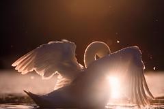 'Genesis' (Jonathan Casey) Tags: swan lake norfolk broads sun sunset nikon d850 400mm f28 vr
