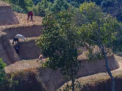 Near Nagarkot (Šarūnas Burdulis) Tags: nagarkot nepal terrace agriculture farmer