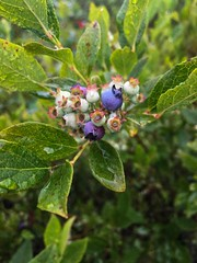 "Highbush Blueberry  ""Vaccinium corymbosum""  Ericaceae (Heather family) (sumilex77) Tags: edible bog blackmoshannon blueberry nativeplant padcnr pennsylvania"