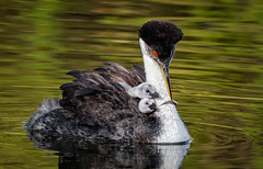 Meal Time (alicecahill) Tags: cute california usa westerngrebe wildlife ©alicecahill sanluisobispocounty parent bird centralcoast chick grebe baby wild santamargaritalake animal