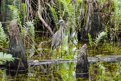 Young Night Heron (dbking2162) Tags: nature nationalgeographic wildlife water 6milecypressslough florida fort myers swamp green heron egrets birds b explore reflections