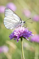 Le Gazé (Décl'ike) Tags: animaux evènements fleursauvage fleurs gazé insecte macro natureetpaysages papillon stagephoto techniquephoto végétaux