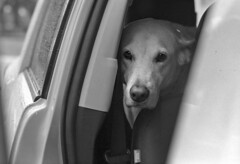 Back Seat Driver (macromary) Tags: leicaflexsl leica leitz leicaflex slr primelens vintage camera manual film bw blackandwhite florida nature rodinal macro 60mm elmarit monotone palmbeachcounty naturepreserve kentmere kentmerefilm kentmere100 60mmelmarit macrolens johnprincememorialpark dog molly labrador labradorretriever yellowlab car cardoor sniff smell nose littledoglaughednoiret