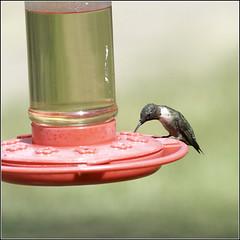 Hummingbird (joeldinda) Tags: bird hummingbird hummer feeder d300 raw