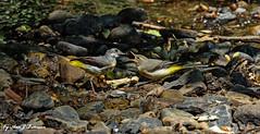 """Grey Wagtails (annjbee """"Birdie Lover"""") Tags: greywagtails birds nature wildlife derbyshire birdwatcher riverlife"""