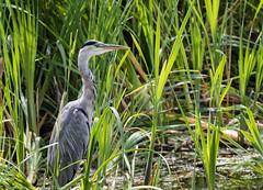 9Q6A1651 (2) (Alinbidford) Tags: alancurtis alinbidford brandonmarsh greyheron nature wildbirds