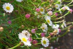 Daisies (msganching) Tags: daisies pink white flowers elthampalace london