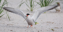 Now where are my chicks? (tresed47) Tags: 2018 201807jul 20180704nynickersonbirds birds bryanscamera canon70d commontern content folder july longisland ny nickersonbeach petersphotos places season summer takenby tern us