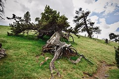 Not Vertical Trunk 2 (Xevi V) Tags: pines isiplou llocsambencant pi tronc trunk lescloses serradelpago pyrenees pirineus pirineucatalà catalonia catalunya landscape sky