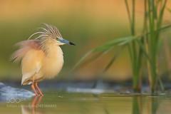 Rallenreiher (KevinBJensen) Tags: heron squacco rallenreiher ardeola ralloides small hungary summer lake shore reed