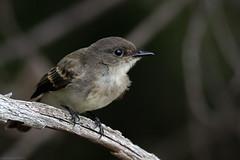 Eastern Phoebe (mathurinmalby) Tags: bird eaph easternphoebesayornisphoebe nh newhampshire sayornisphoebe usa