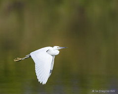 Young Flyer (pandatub) Tags: bird birds egret snowyegret fledgling lakeshorepark